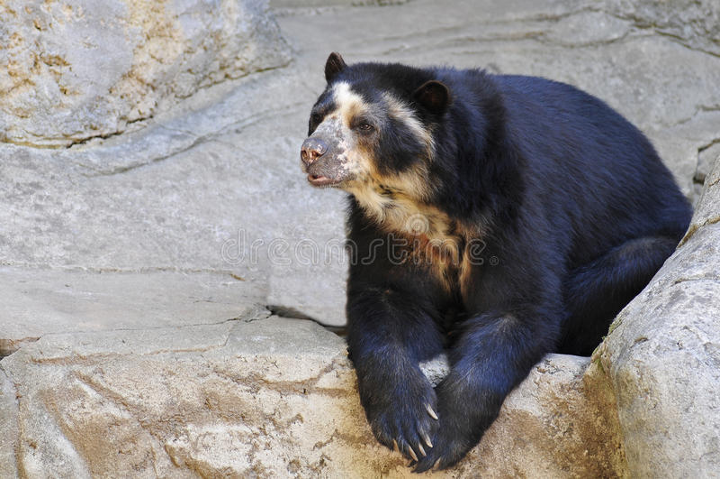 Urso Spectacled em rochas fotos de stock