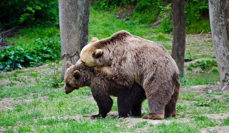 ursos foto de stock