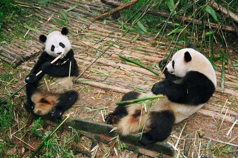 Ursos da panda foto de stock