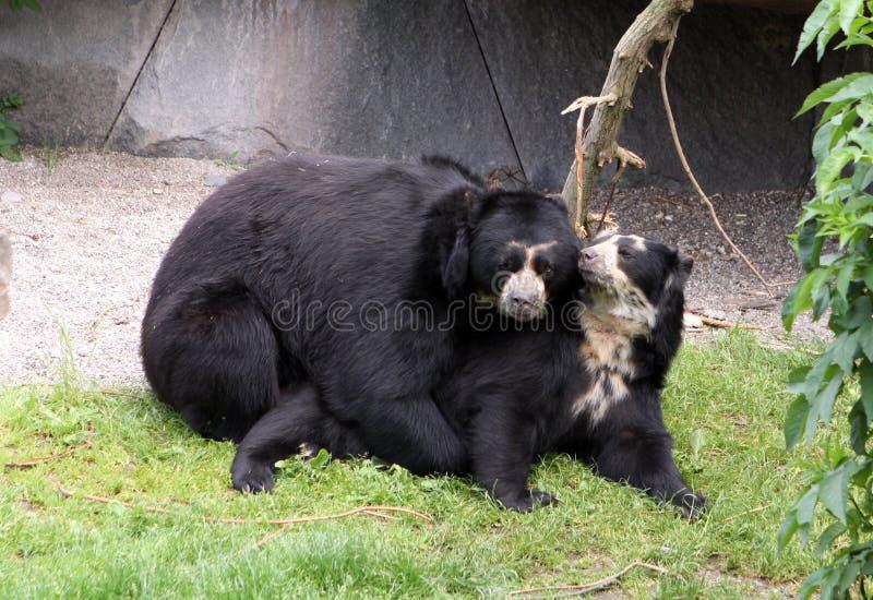 Ursos de acoplamento foto de stock royalty free