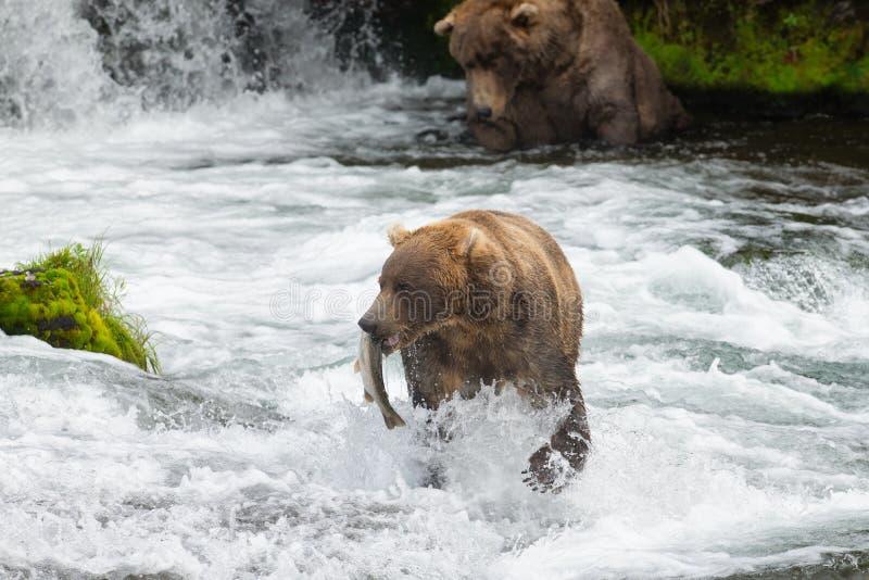 Ursos de Alaska Brown em quedas dos ribeiros fotos de stock royalty free