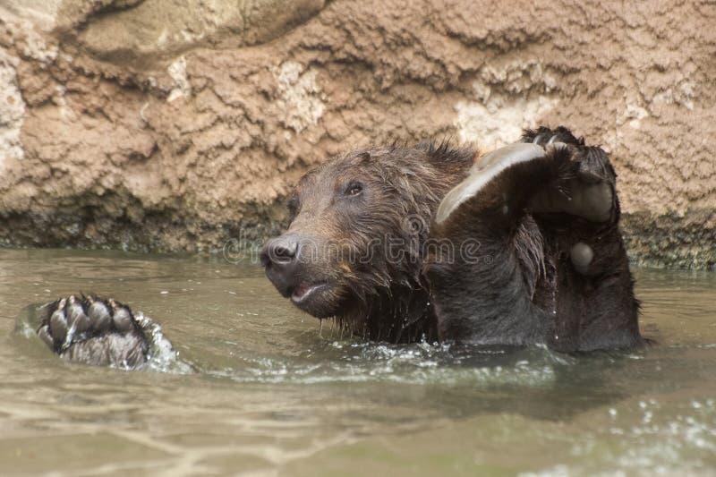 Ursos de Brown do Siberian imagens de stock