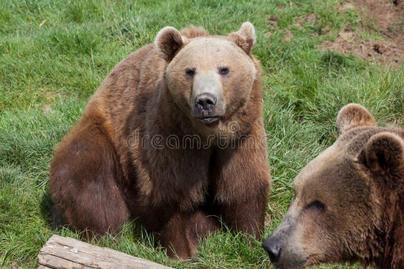 Ursos de Brown litorais do Alasca fotos de stock royalty free