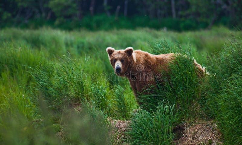 Urso de Grizly em Alaska foto de stock