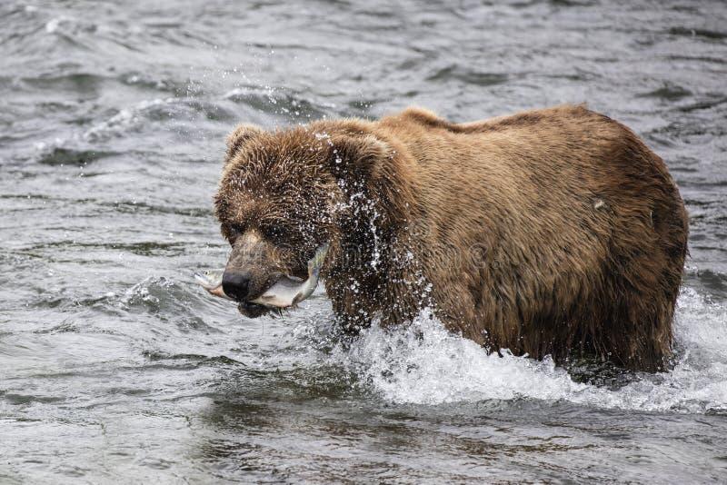 Ursos de Katmai Brown; Quedas dos ribeiros; Alasca imagem de stock royalty free