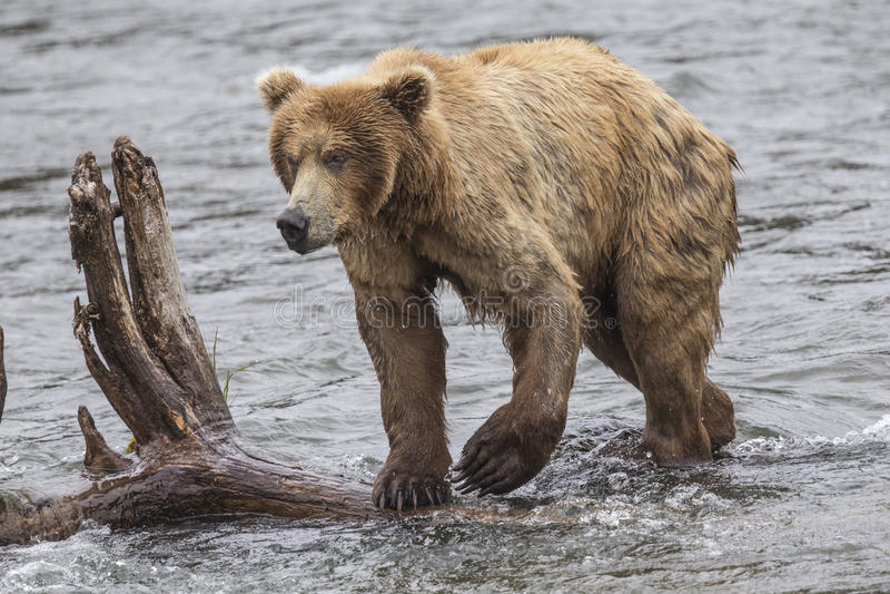 Ursos de Katmai Brown; Quedas dos ribeiros; Alaska; EUA foto de stock