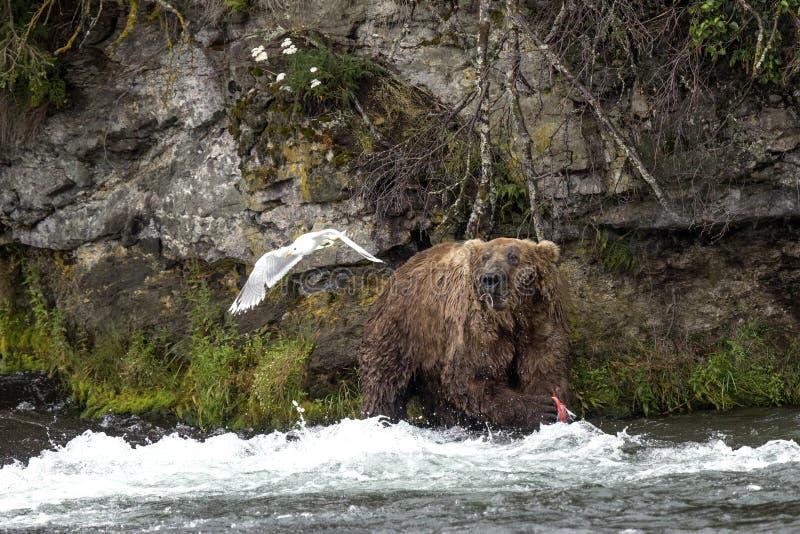 Ursos de Katmai Brown; Quedas dos ribeiros; Alaska; EUA fotografia de stock royalty free