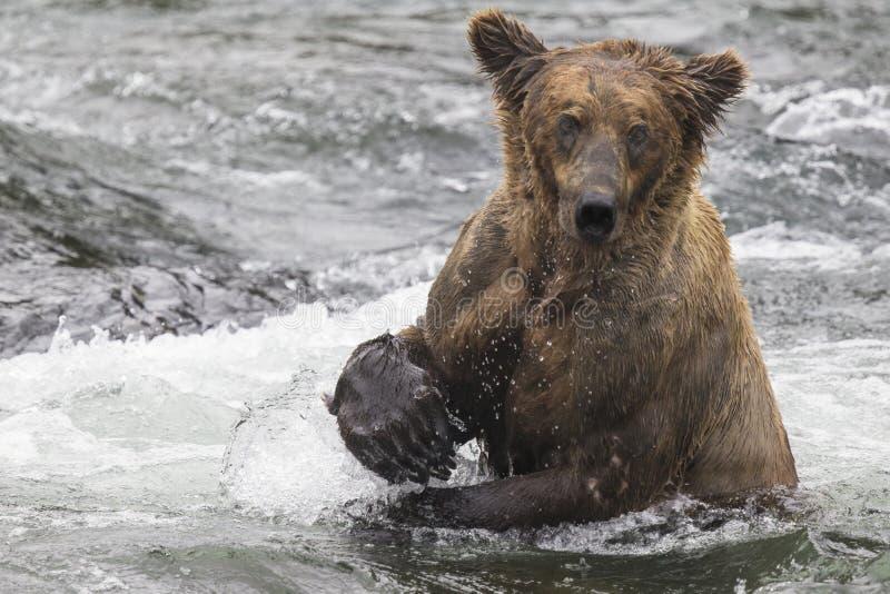 Ursos de Katmai Brown; Quedas dos ribeiros; Alaska; EUA foto de stock royalty free
