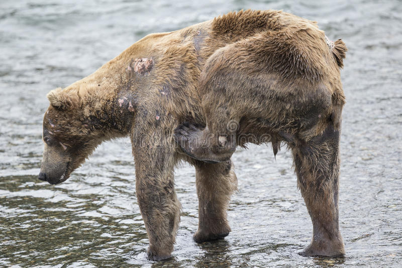 Ursos de Katmai Brown; Quedas dos ribeiros; Alaska; EUA fotografia de stock