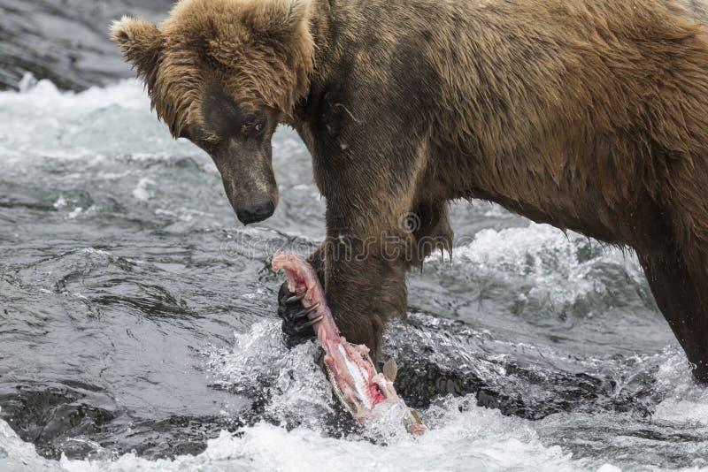 Ursos de Katmai Brown; Quedas dos ribeiros; Alaska; EUA imagens de stock royalty free