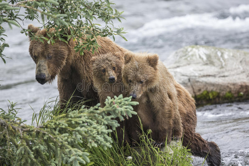 Ursos de Katmai Brown; Quedas dos ribeiros; Alaska; EUA imagem de stock royalty free