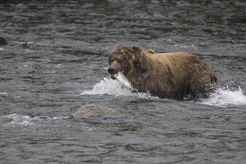 Ursos de Katmai Brown; Quedas dos ribeiros; Alaska; EUA imagem de stock
