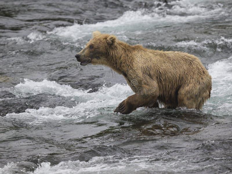 Ursos de Katmai Brown; Quedas dos ribeiros; Alaska; EUA fotos de stock