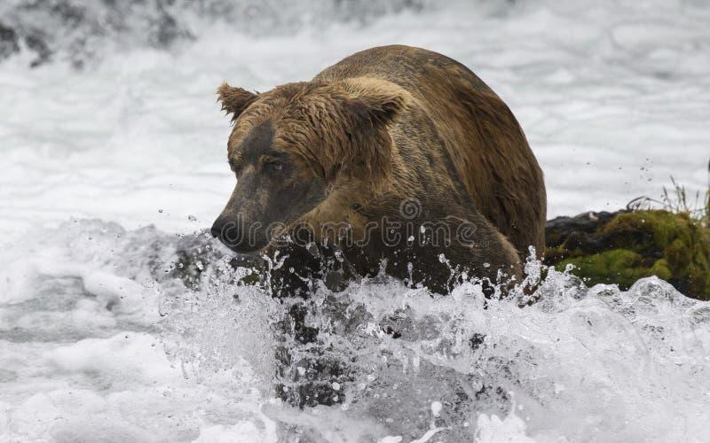Ursos de Katmai Brown; Quedas dos ribeiros; Alaska; EUA fotos de stock royalty free