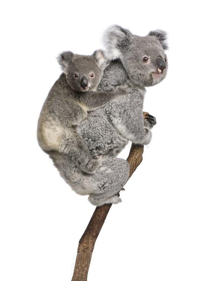 Ursos de Koala que escalam a árvore de encontro ao fundo branco imagens de stock royalty free