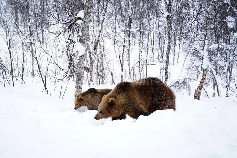 Ursos Narvik Noruega fotos de stock royalty free