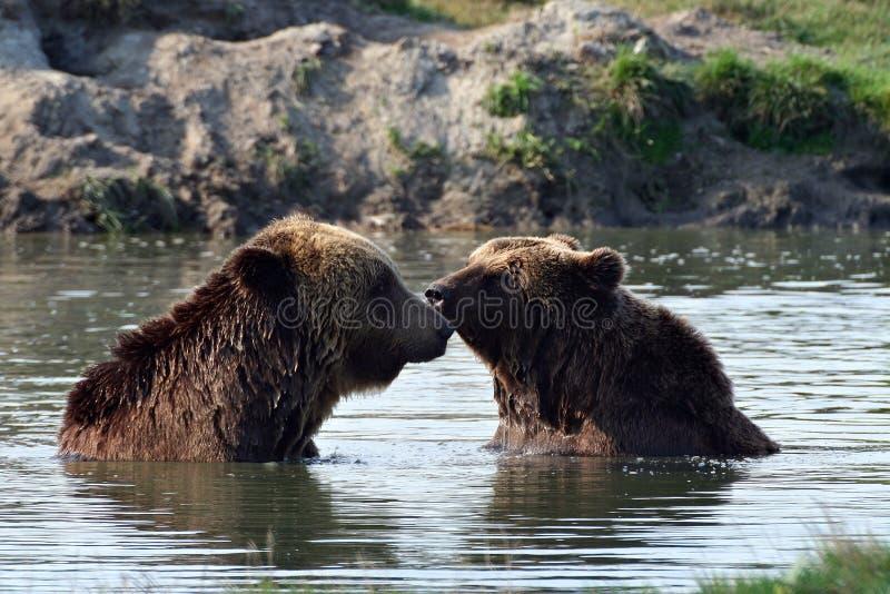 Ursos no lago imagem de stock royalty free