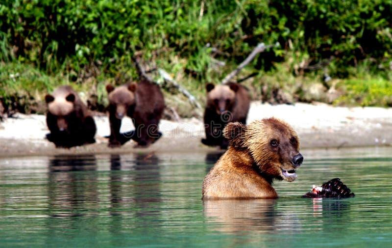Ursos no lago imagens de stock royalty free