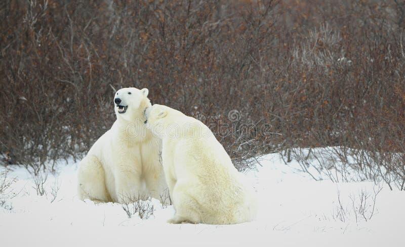 Ursos polares. imagem de stock royalty free