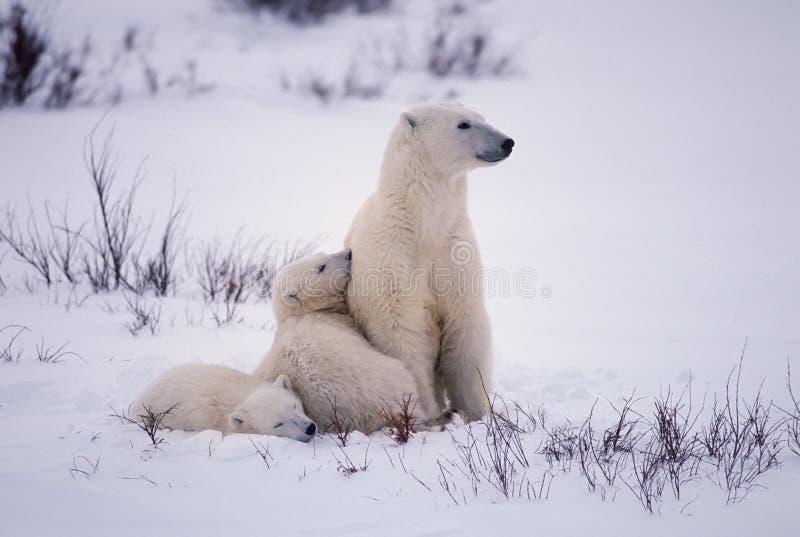 Ursos polares fotos de stock royalty free