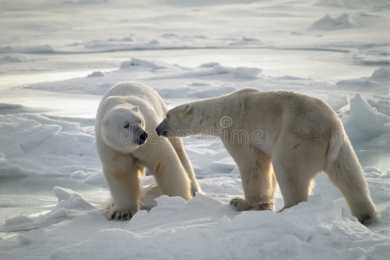 Ursos polares imagem de stock royalty free