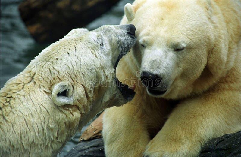 Ursos polares foto de stock