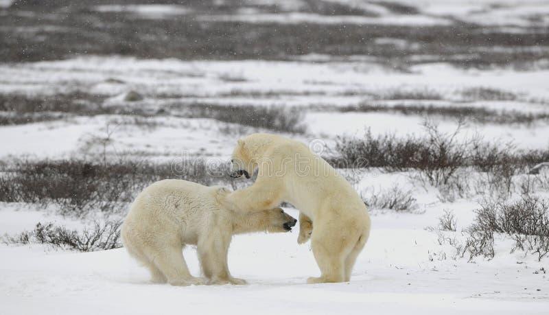 Ursos polares de combate. imagem de stock royalty free