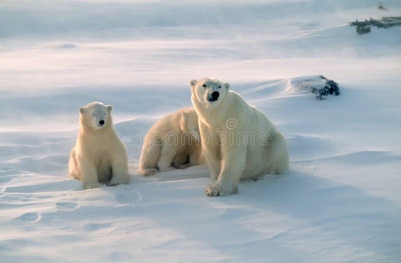 Ursos polares no ártico canadense fotografia de stock