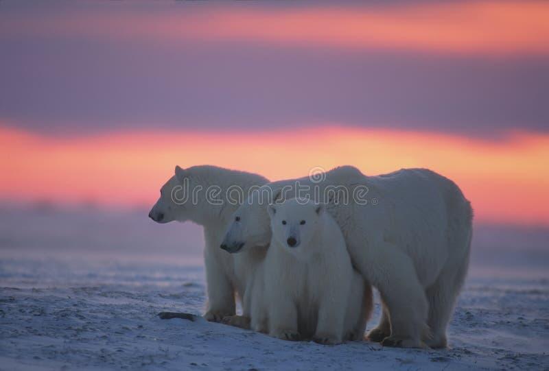 Ursos polares no ártico canadense imagem de stock royalty free
