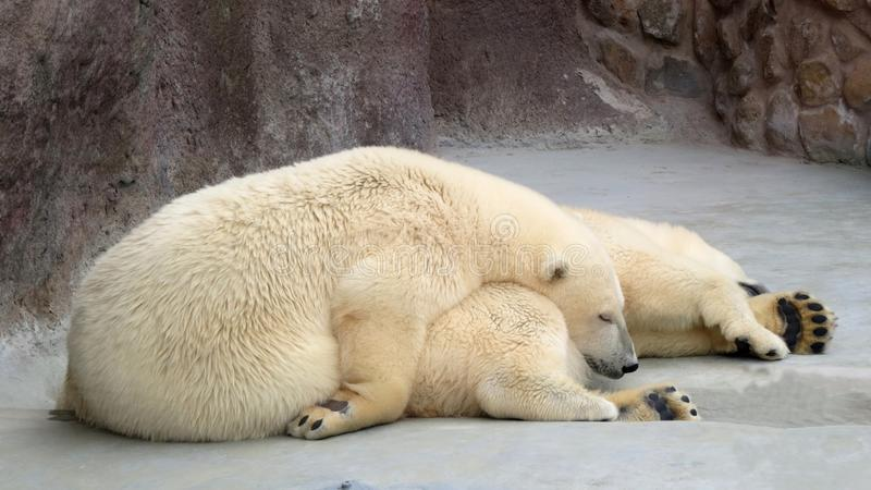 Ursos polares no lavados acima da baleia de esperma imagem de stock