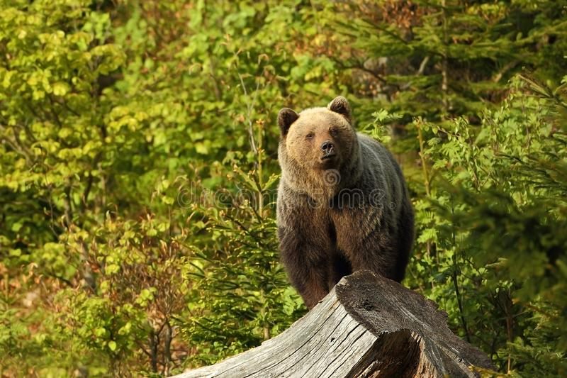 Ursus arctos. Brown bear. The photo was taken in Slovakia. The brown bear is found throughout Europe. Beautiful bear image. Nature of Slovakia. Wild nature royalty free stock image