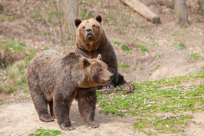 Ursus arctos Castanhos fotos de stock