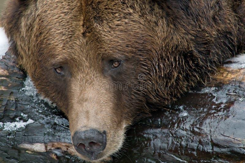 ursus arctos ponoszą brown zdjęcie royalty free