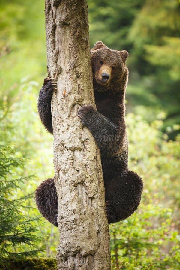 ursus arctos ponoszą brown obraz royalty free