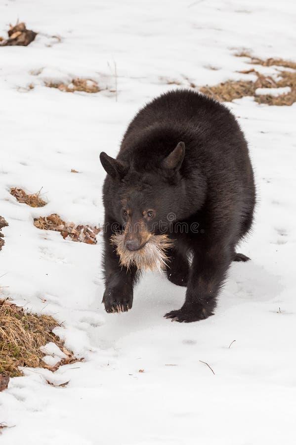 Ursus del oso negro americanus con el penacho de la piel de los ciervos foto de archivo libre de regalías
