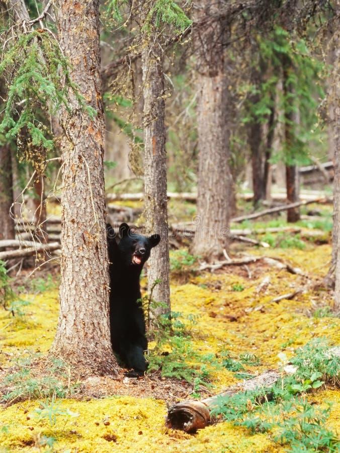 Ursus do urso preto do taiga de Yukon Canadá americano imagens de stock