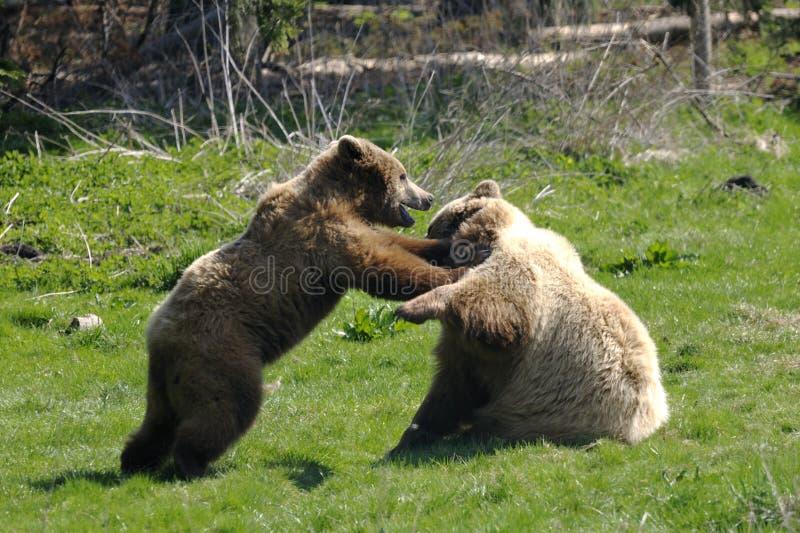 ursus för arctosbjörnbrown arkivbild