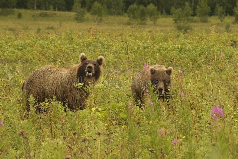 ursus för jeniseensis för arctosbjörnbrown royaltyfria foton