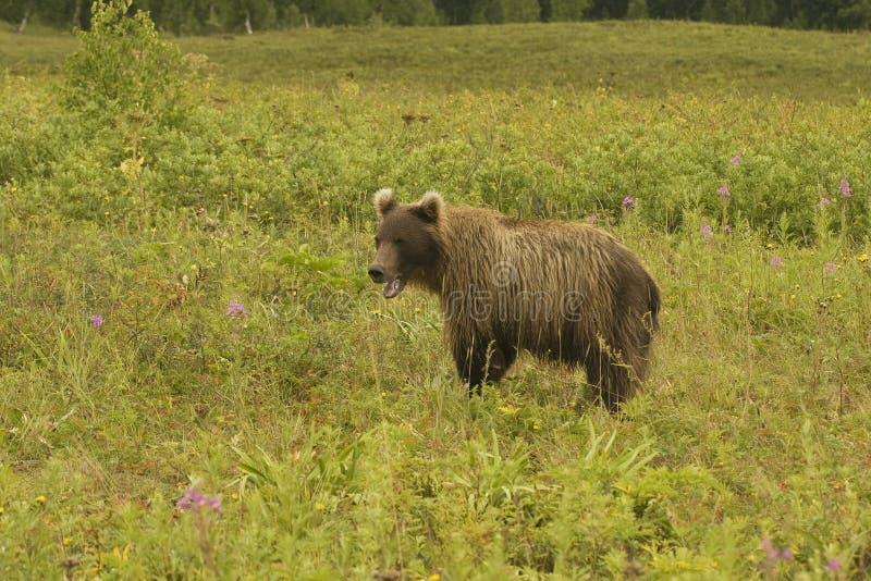 ursus för jeniseensis för arctosbjörnbrown fotografering för bildbyråer