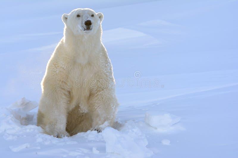 ursus polaire de maritimus d'ours image stock