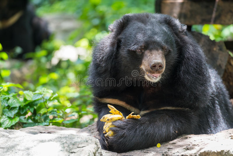 Ursus thibetanus łasowania banan obrazy stock