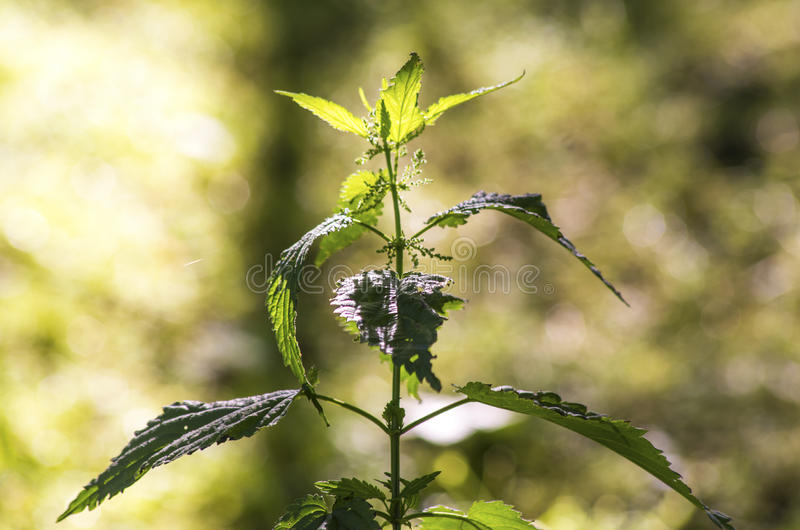 Urtica dioica royalty free stock photos
