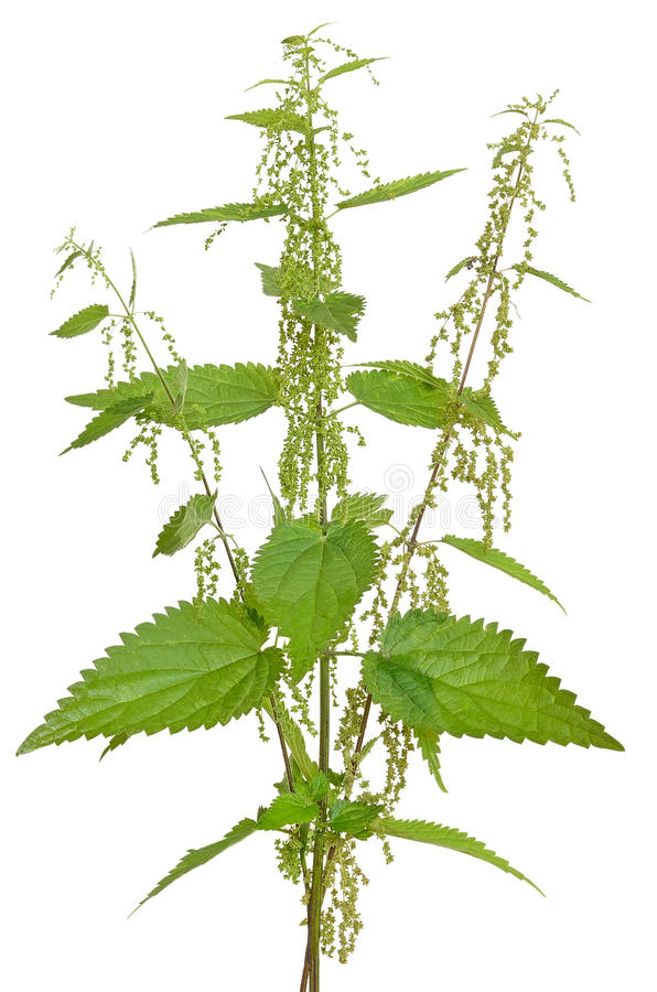 Download Urtica Urens (Stinging Nettle) Plant Stock Image - Image of herb, herbal: 44439381