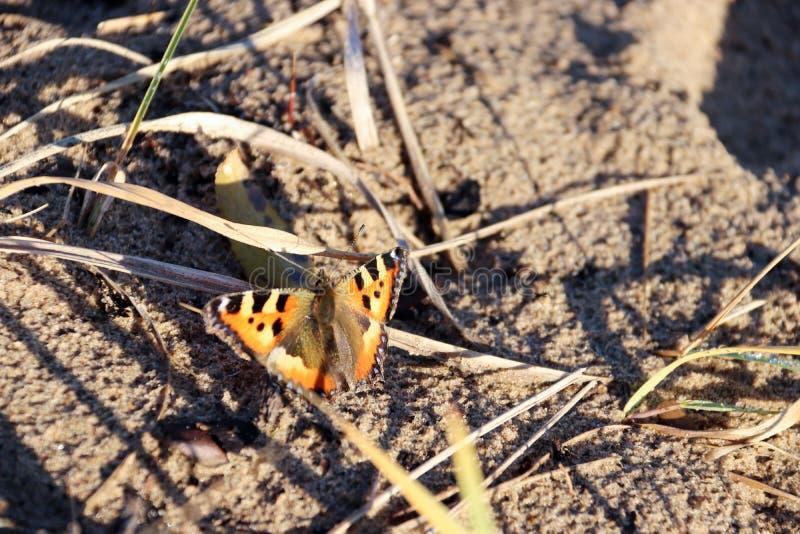 Urticae d'Aglais, urticae de Nymphalis Macro Papillon sur les tiges nues des herbes et des fleurs en retard images libres de droits