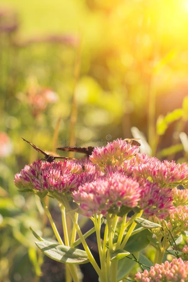 Urticae de Aglais, borboleta de concha de tartaruga pequena em flores cor-de-rosa, fundo natural bonito com a borboleta no jardim foto de stock royalty free