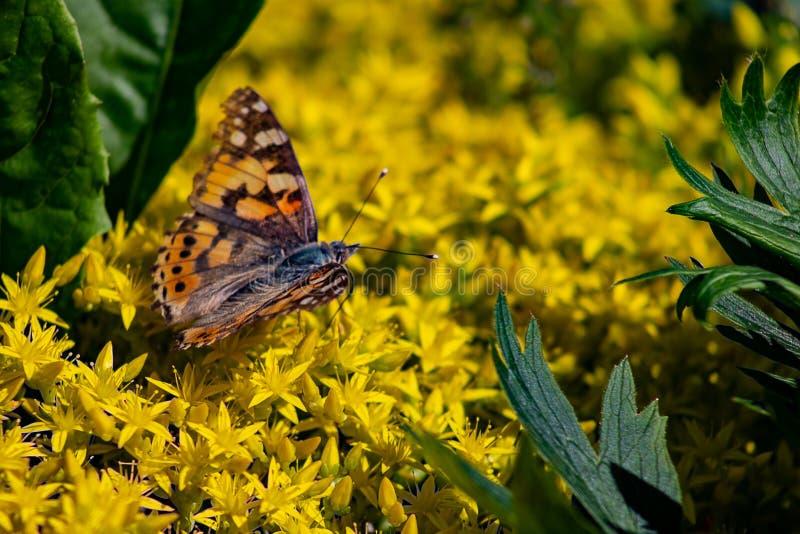 urticae Vermelho-marrons de Papilio da borboleta, ou a tartaruga pequena, tartaruga de mineração que senta-se em flores amarelas  fotografia de stock royalty free