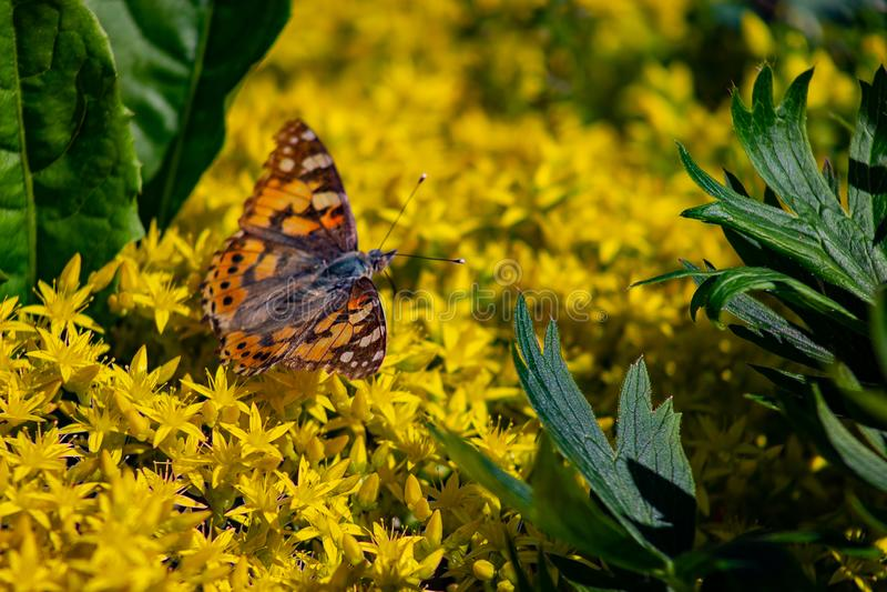 urticae Vermelho-marrons de Papilio da borboleta, ou a tartaruga pequena, tartaruga de mineração que senta-se em flores amarelas  foto de stock royalty free