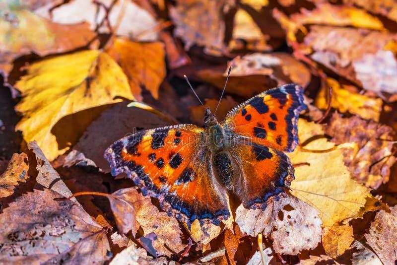 Urticaria - mariposa del día de la familia de lat de Nymphalids Urticae de Aglais Mariposa en el fondo del abedul caido del otoño imagenes de archivo