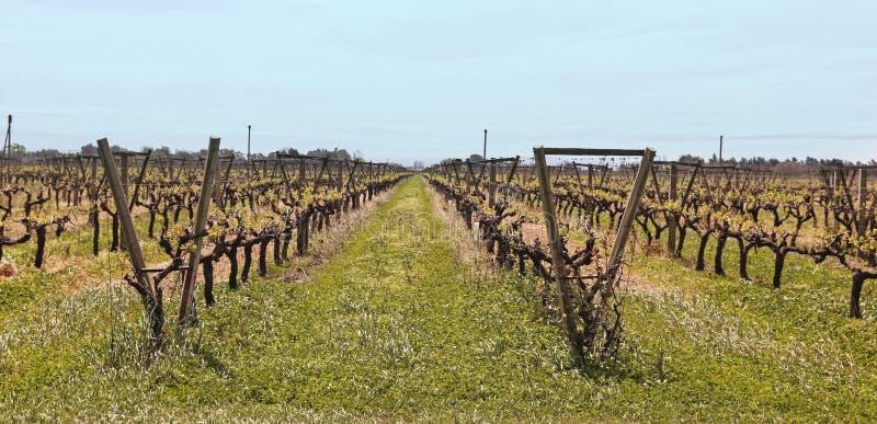 Uruguayan vineyards royalty free stock photography
