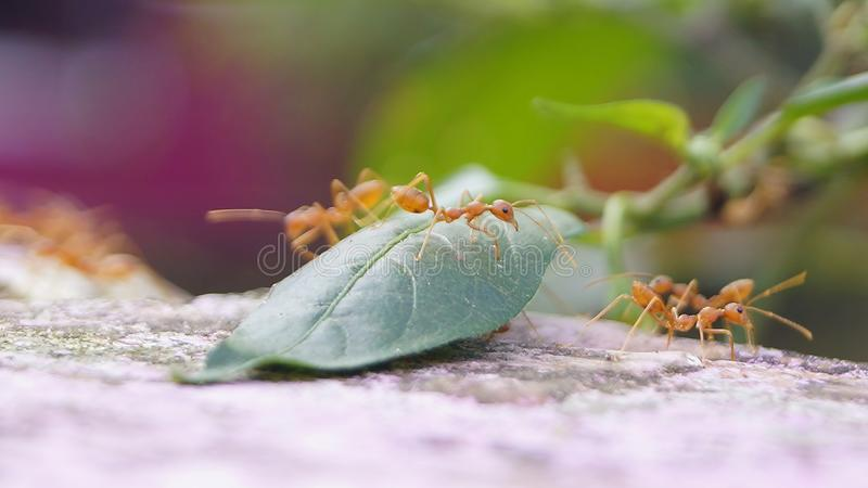_Urumbu de fourmi de pharaon de fourmis photos stock